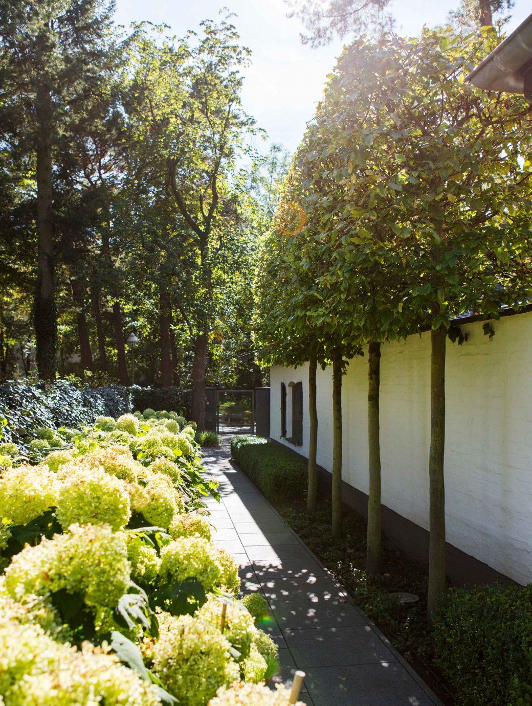 Carpinus betulus Hochstämme in Kastenform an Hausmauer