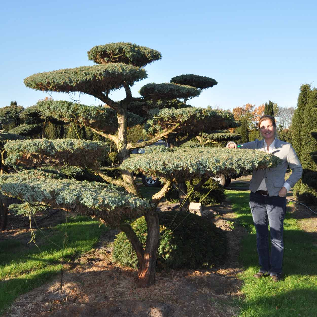 Juniperus chinensis Blue Alps Bonsai