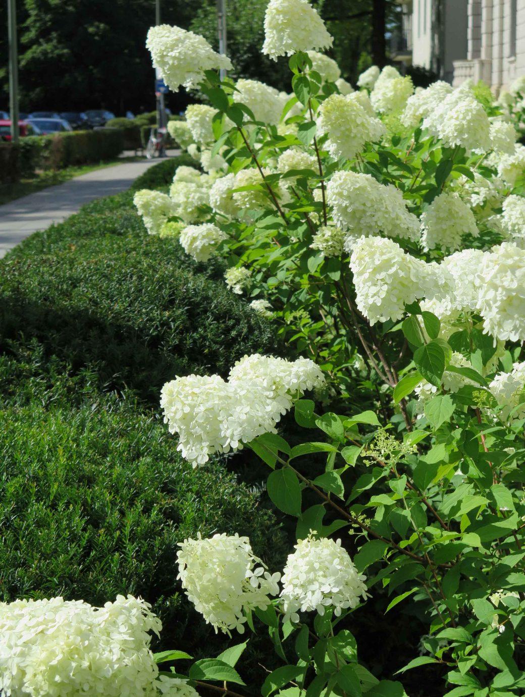 Nahaufnahme von großen weißen Hortensien