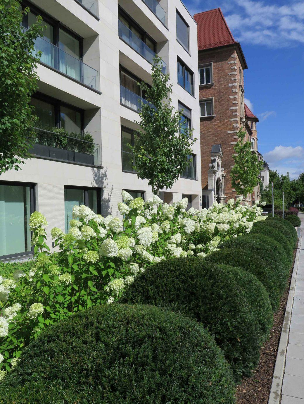 Taxuskugeln in Wolkenform und große weiße Hortensien vor einem Wohngebäude