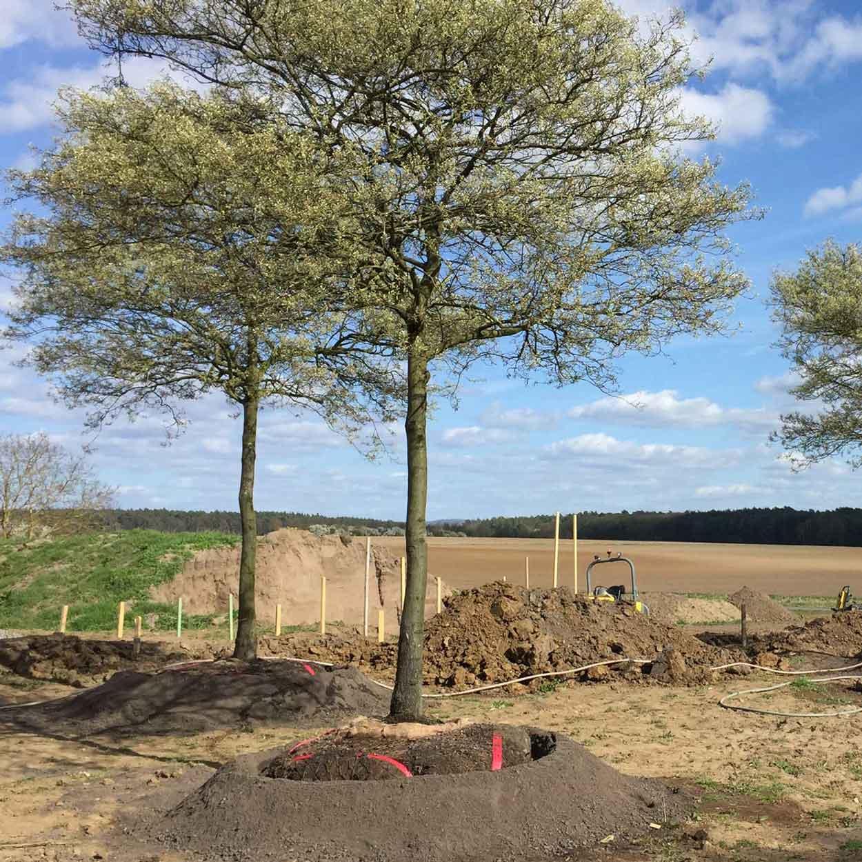 Große Amelanchier-Solitärbäume beim Einpflanzen