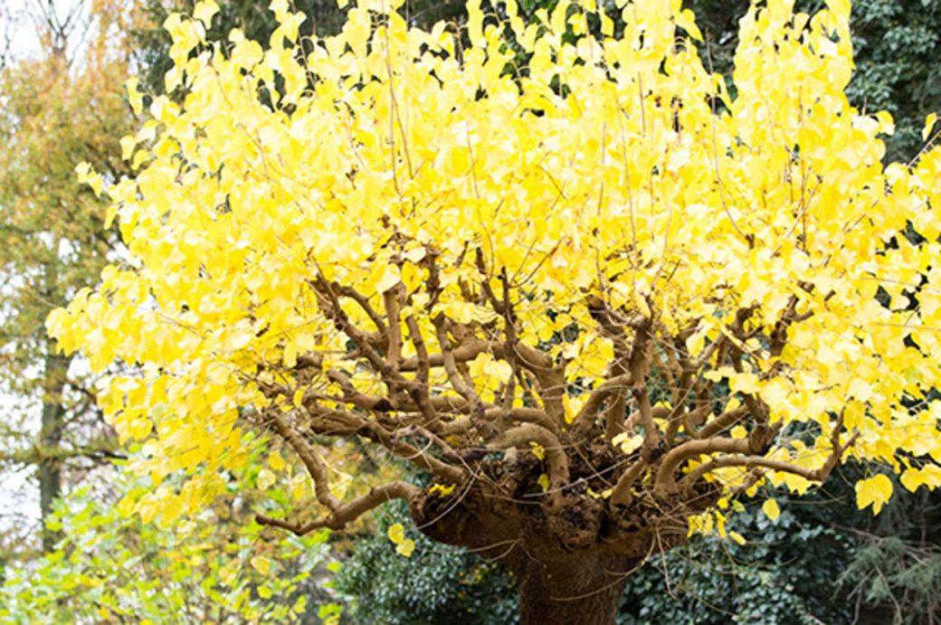 gelber Baum