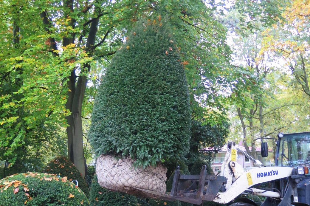 Taxus Baccata in Form, International Tree Broker