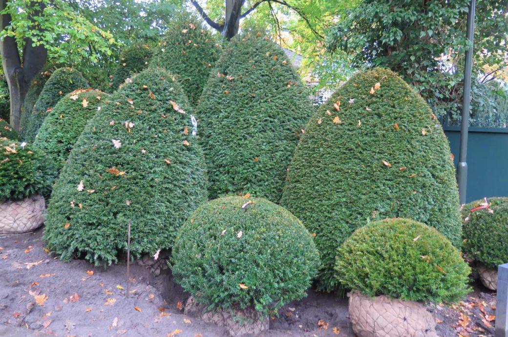 Taxus baccata in verschiedenen Formen