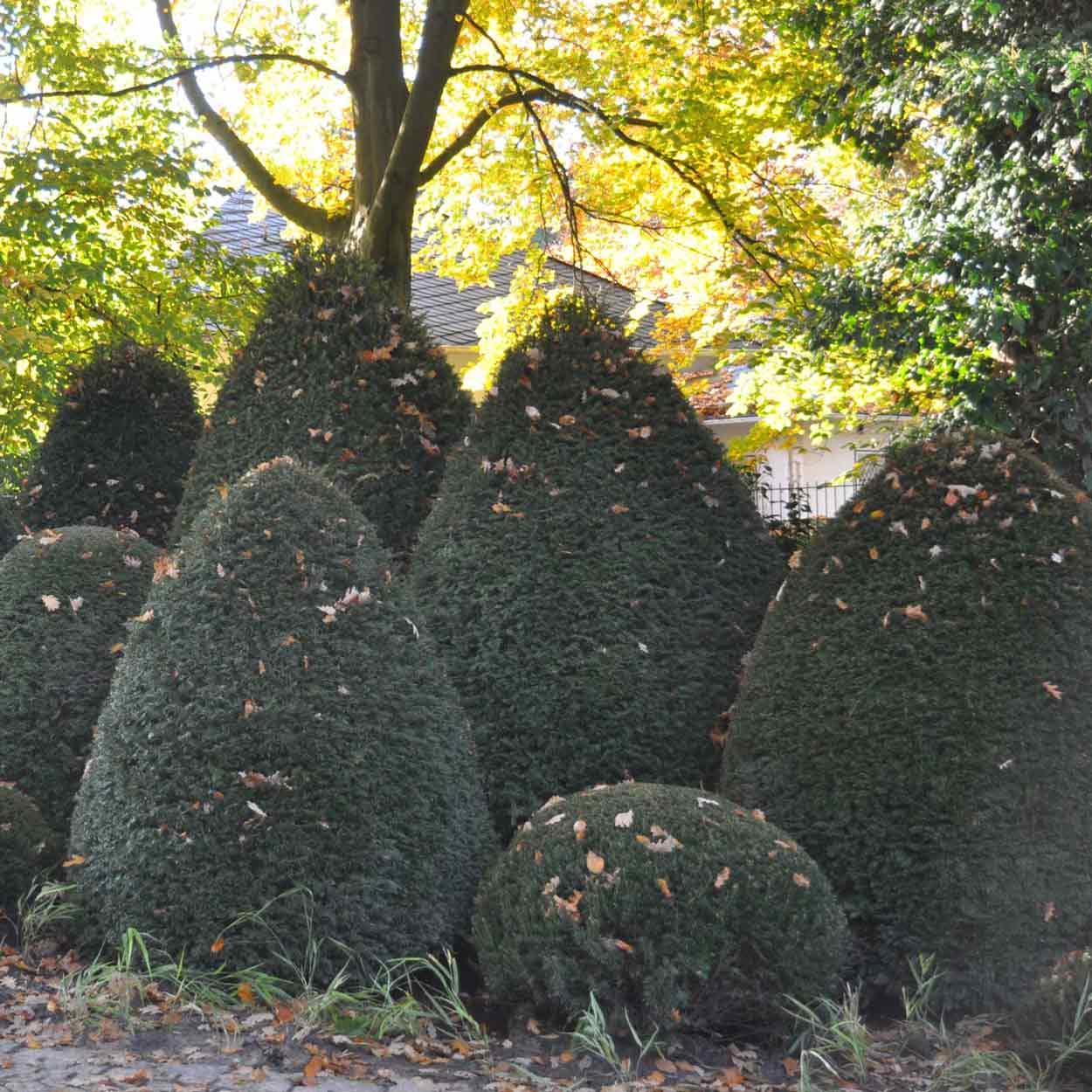 Taxus baccata in verschiedenen Formen in einem Privatgarten in Norddeutschland