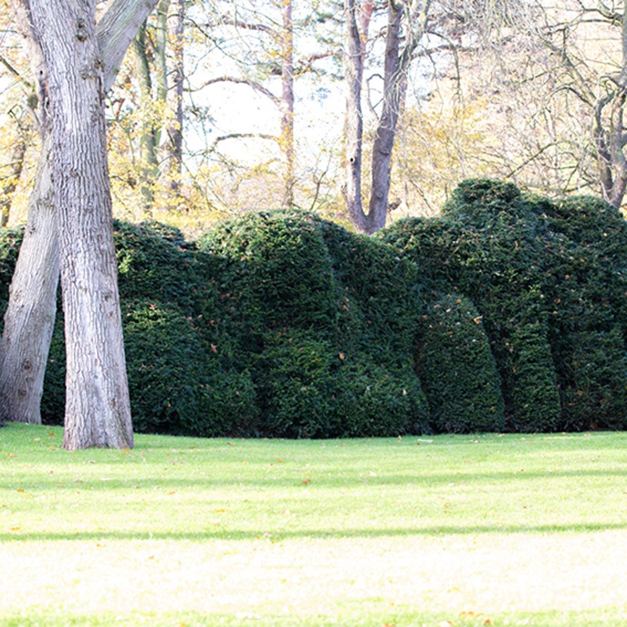 Taxus-Wolkenhecke in Privatgarten im Norden
