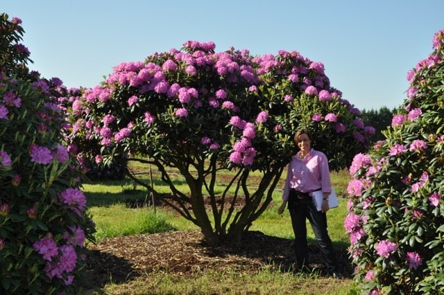 bl h vergn gen rhododendron repens international tree broker. Black Bedroom Furniture Sets. Home Design Ideas