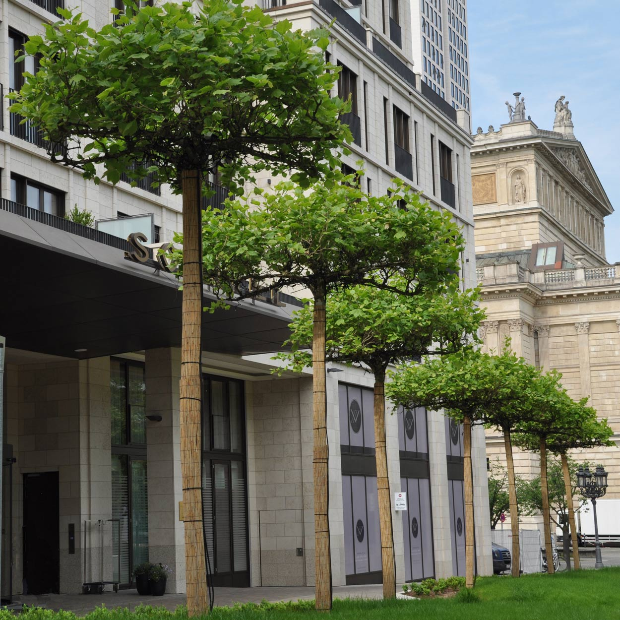 International Tree Broker Referenz-Projekt Dachplatanen Alte Oper Frankfurt