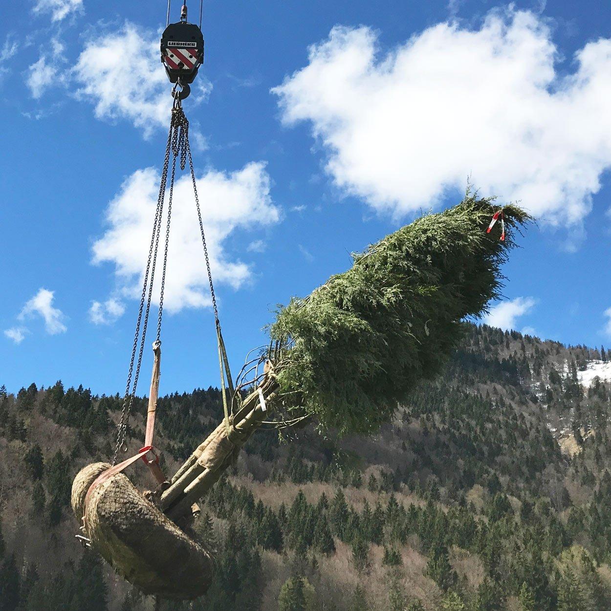 Tsuga canadensis am Kran vor Bergkulisse