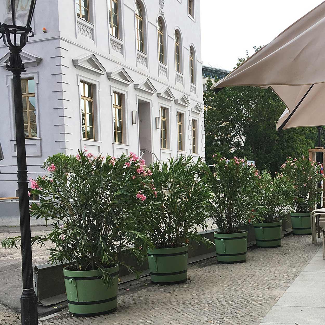 Oleander nerium Museum Barberini in Potsdam