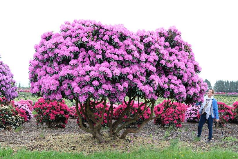 Rhododendron Schirmform
