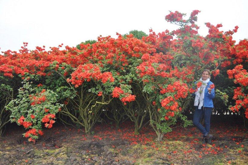 Rhododendron laubabwerfend Solitär