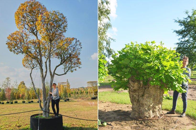 Parrotia persica Bonsaiform und Platanus hispanica Kopfbaum