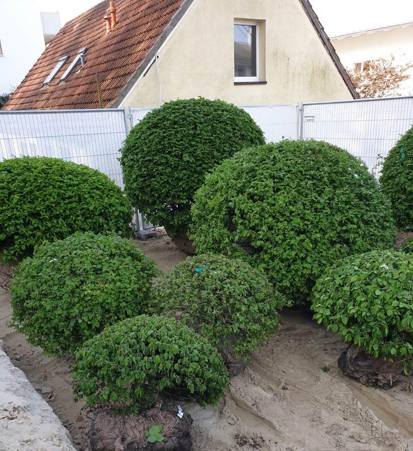 Carpinus betulus Kugelformen