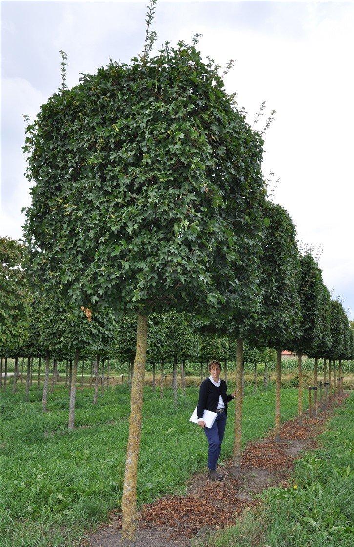 Acer campestre Elsrijk 30-350 trunk 230 140x140x160