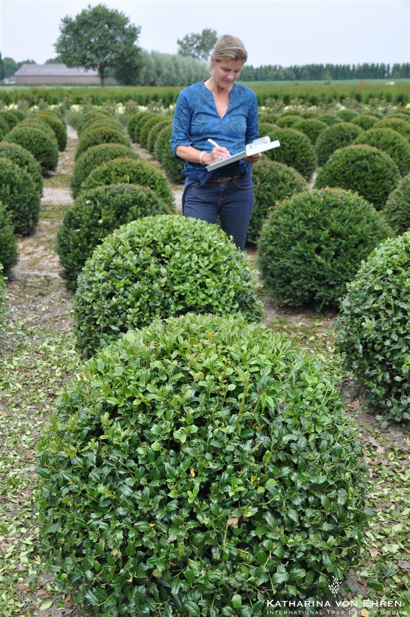 Ilex aquifolium Washington sphere 90-100