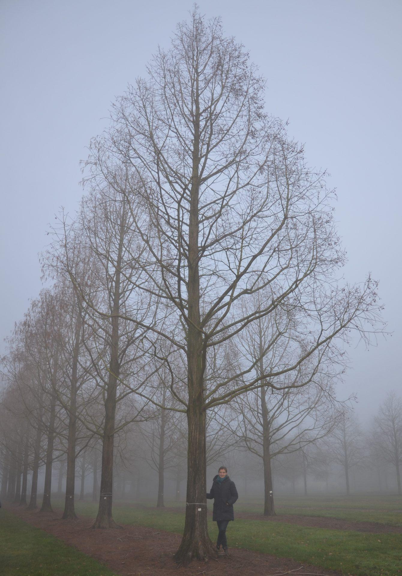 Metasequoia glyptostroboides 120-140_006