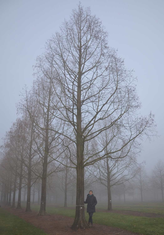 Metasequoia-glyptostroboides-120-140