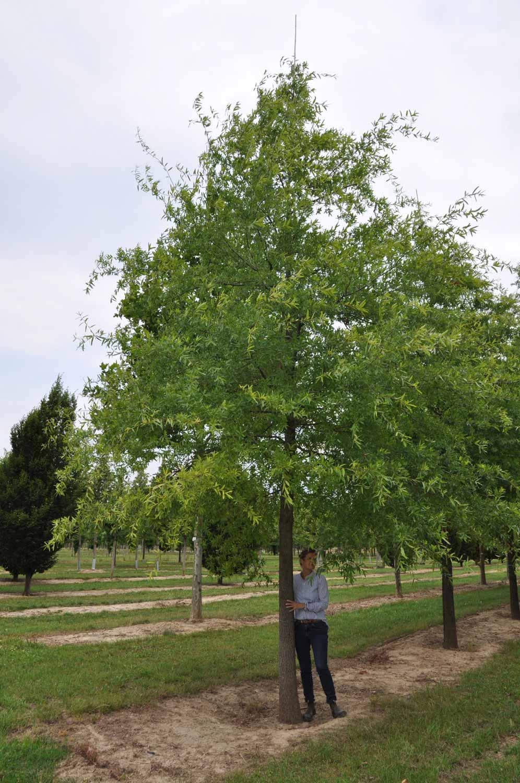 Quercus phellos-45-40