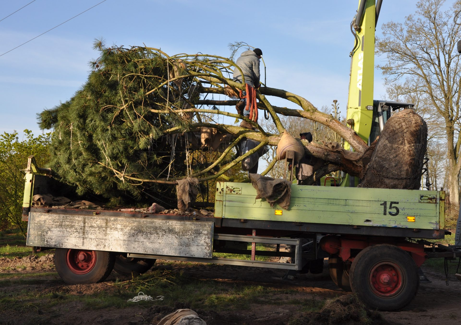 Shipping of a large black pine tree