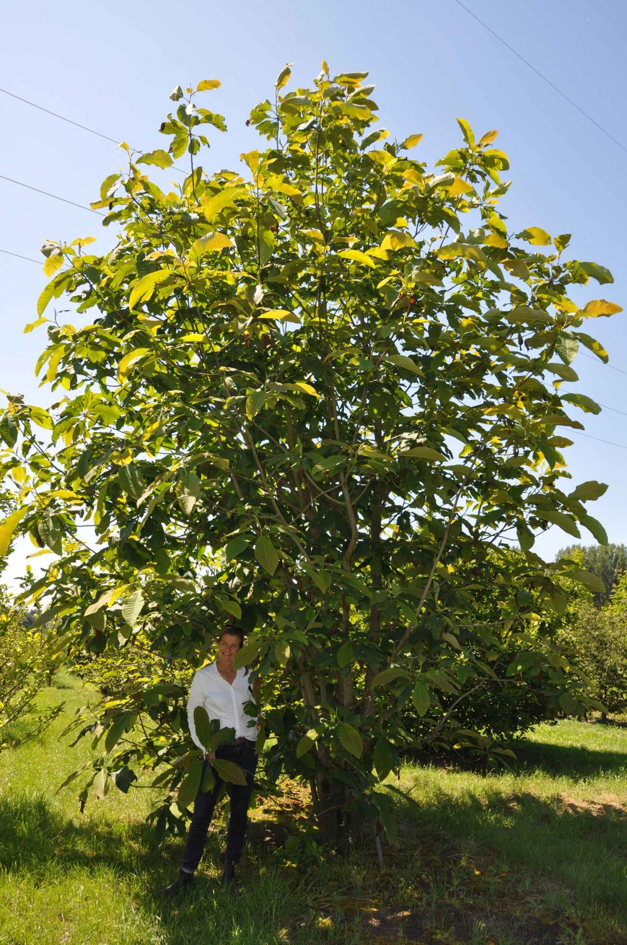 Besonders große Magnolia tripetala