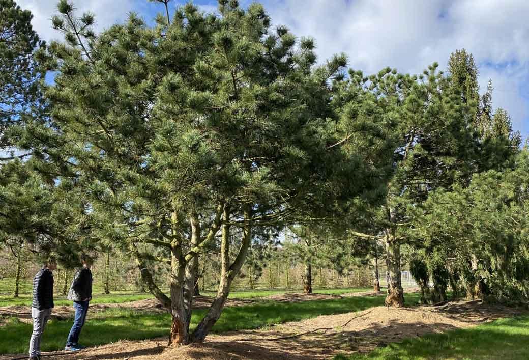 Pinus nigra Schirmform