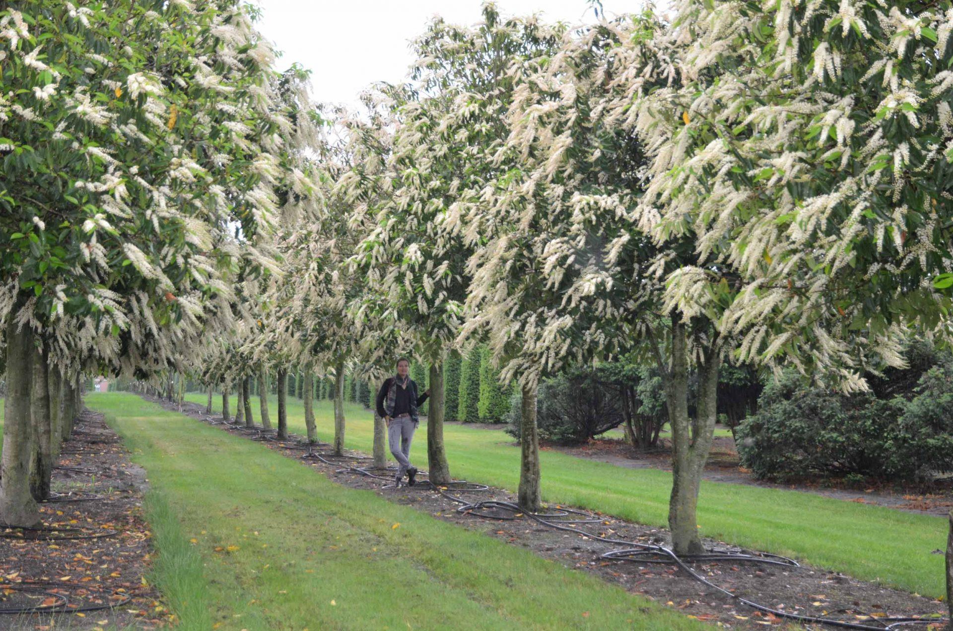 Prunus lusitanica Hochstamm 300-400x500-600