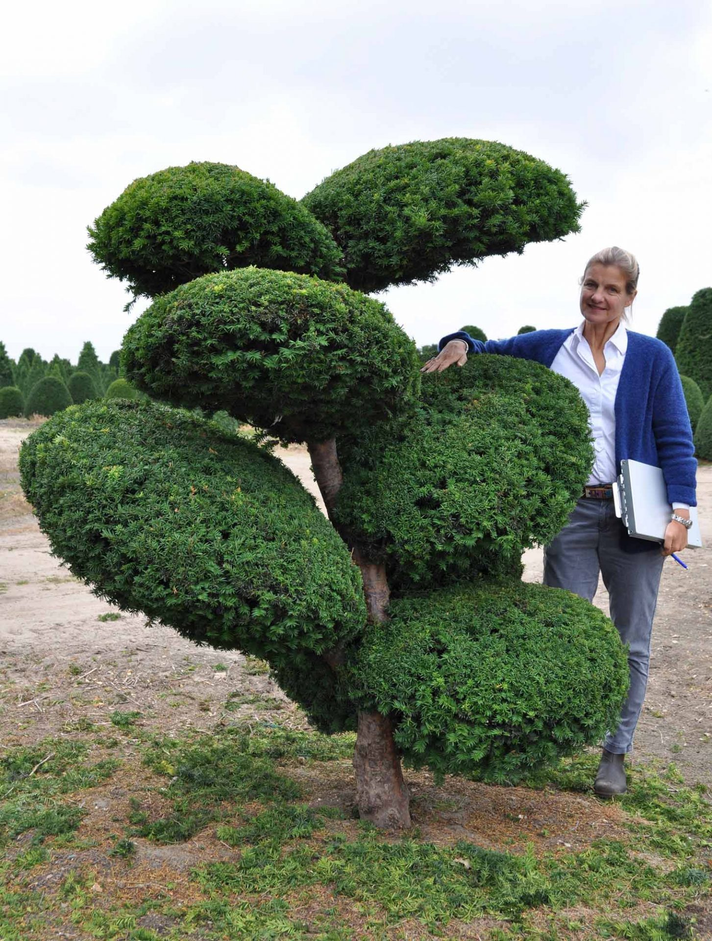 Taxus baccata Fantasieform
