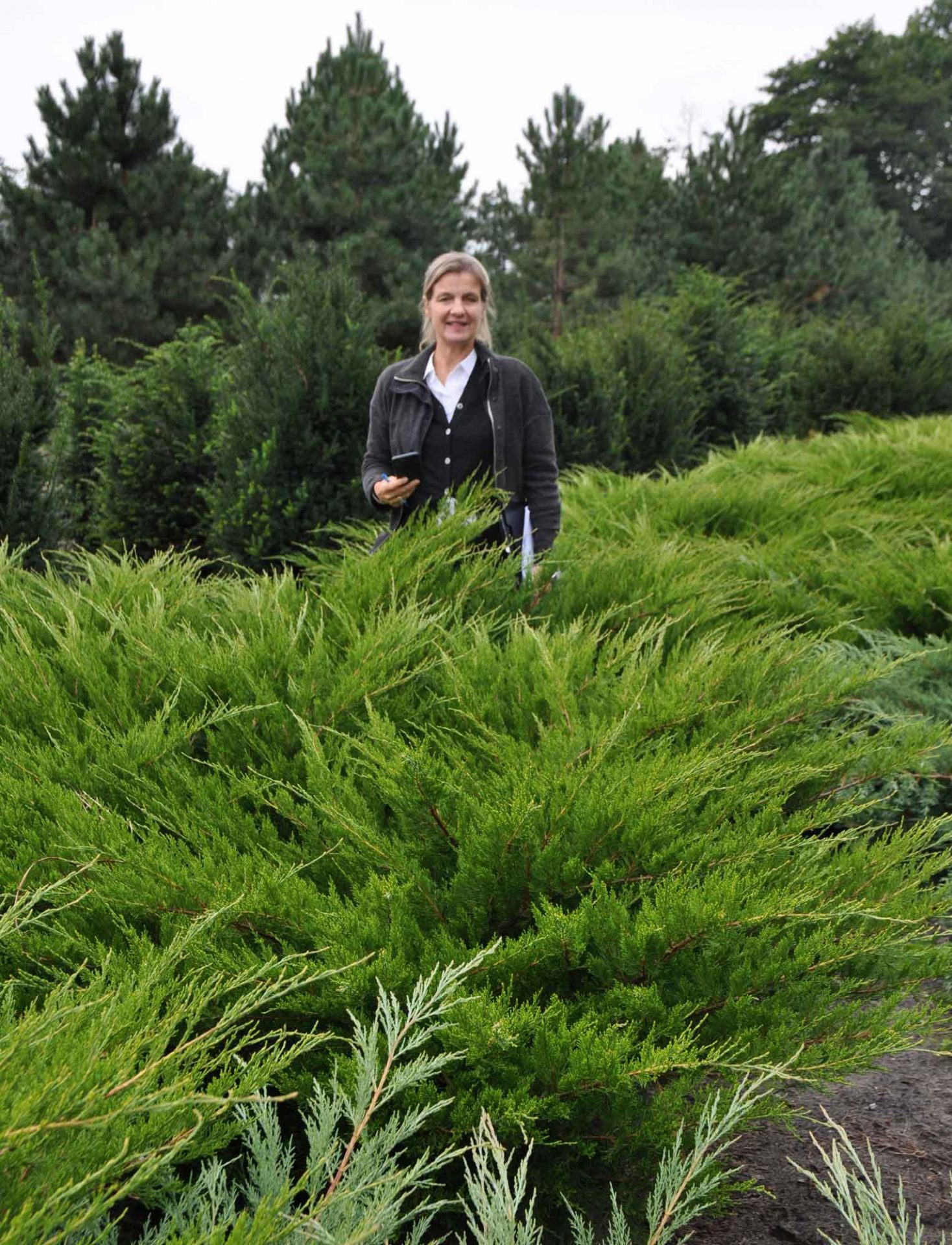 Juniperus media 'Mint Julep' 80-100