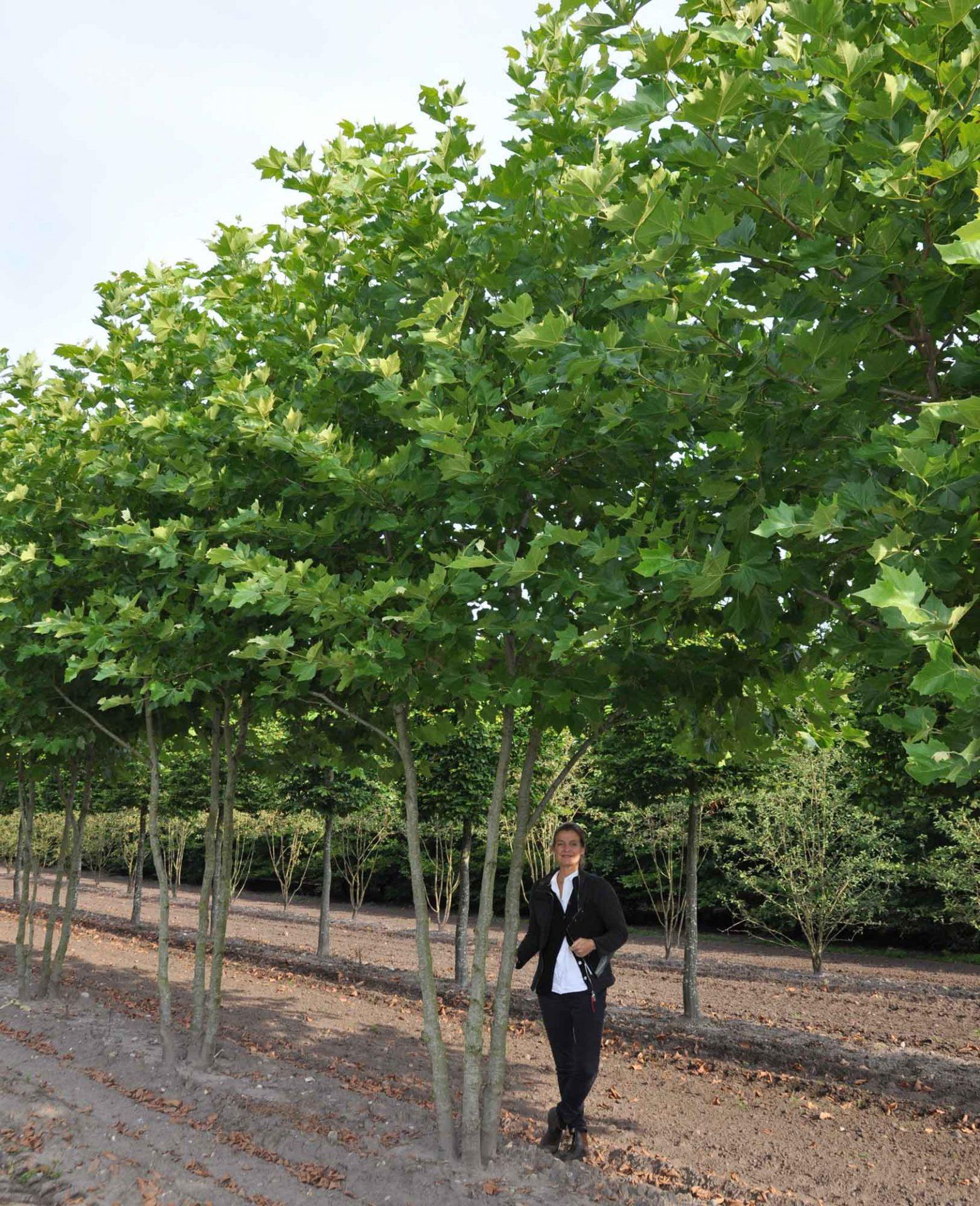 Platanus acerifolia 3 Gst