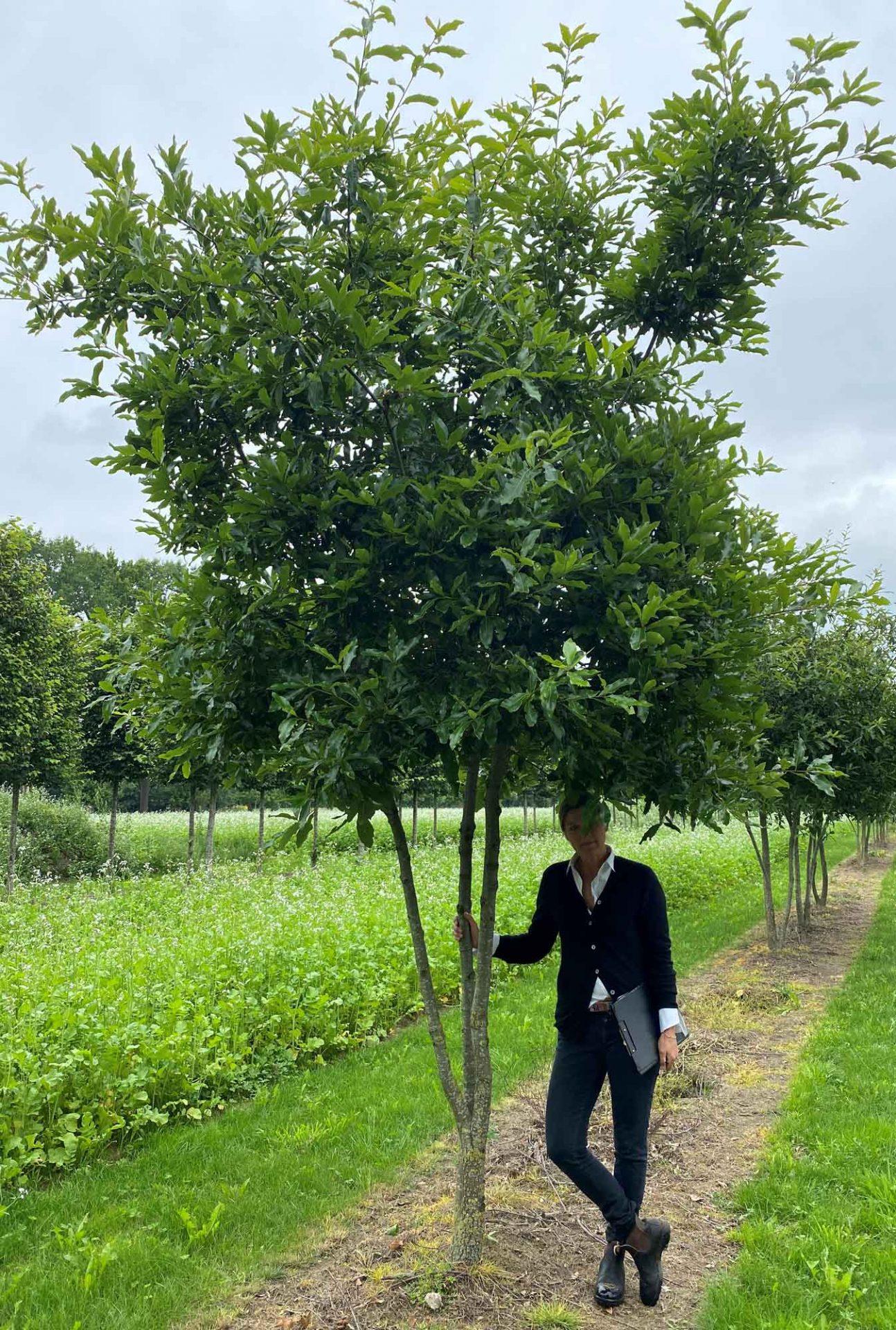 Quercus imbricarica mehrstämmig