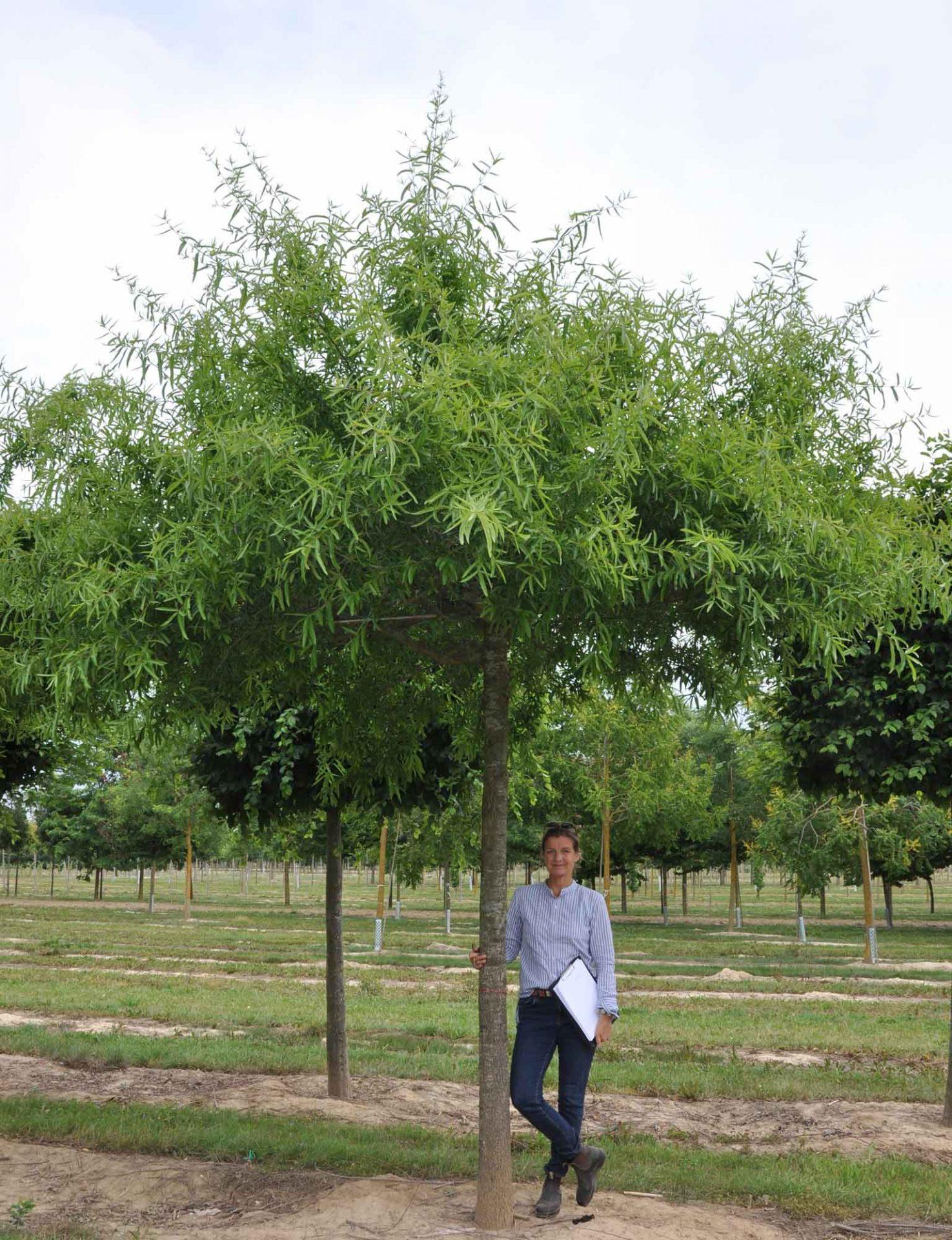Quercus phellos Dachform 250x250-40-45