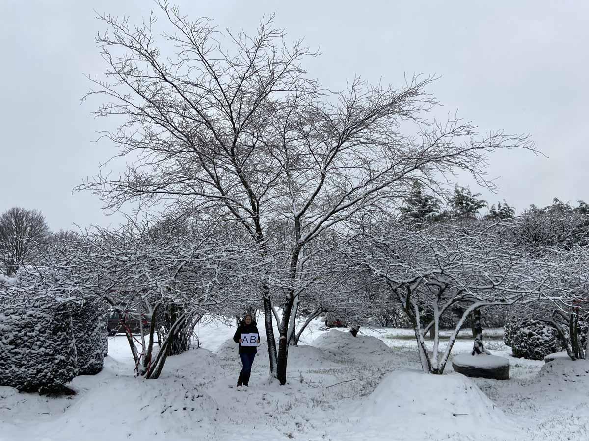 Prunus subhirtella 'Accolade' 700-800 x 800-900