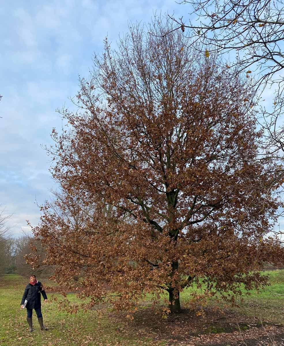 Quercus robur Stbu Sth.80-120-140