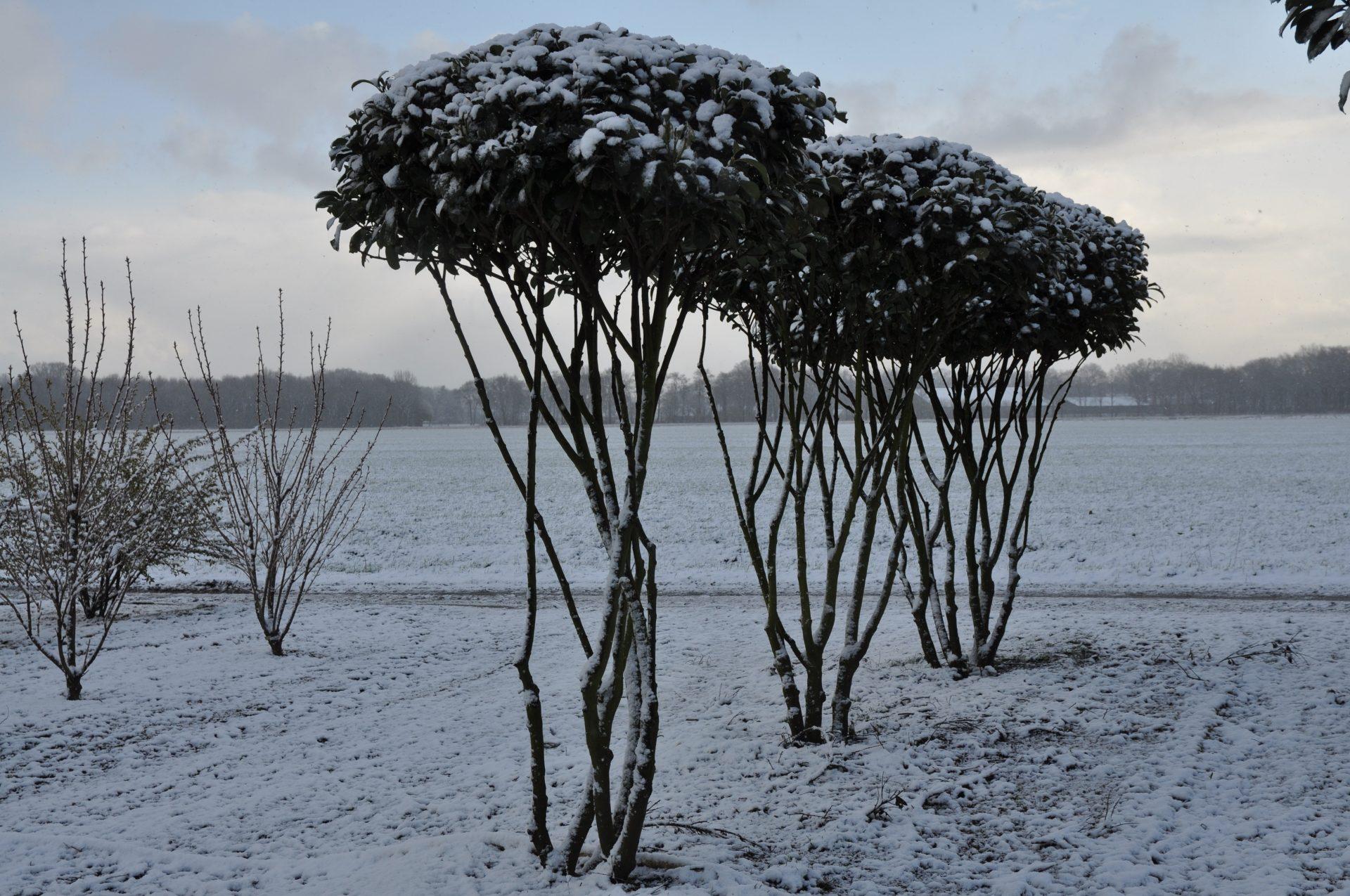 Prunus laurocerasus Etna Schirm Sth.200 gesamt 250_258 (6) im Schnee