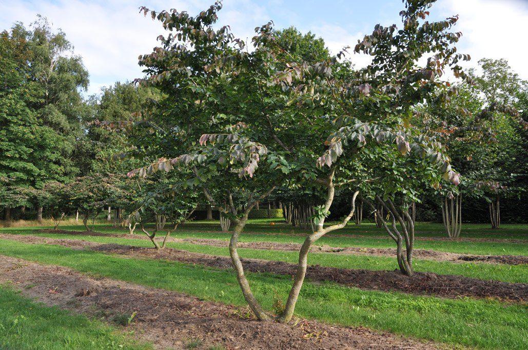 Parrotia persica Schirm malerisch 2 Grdst